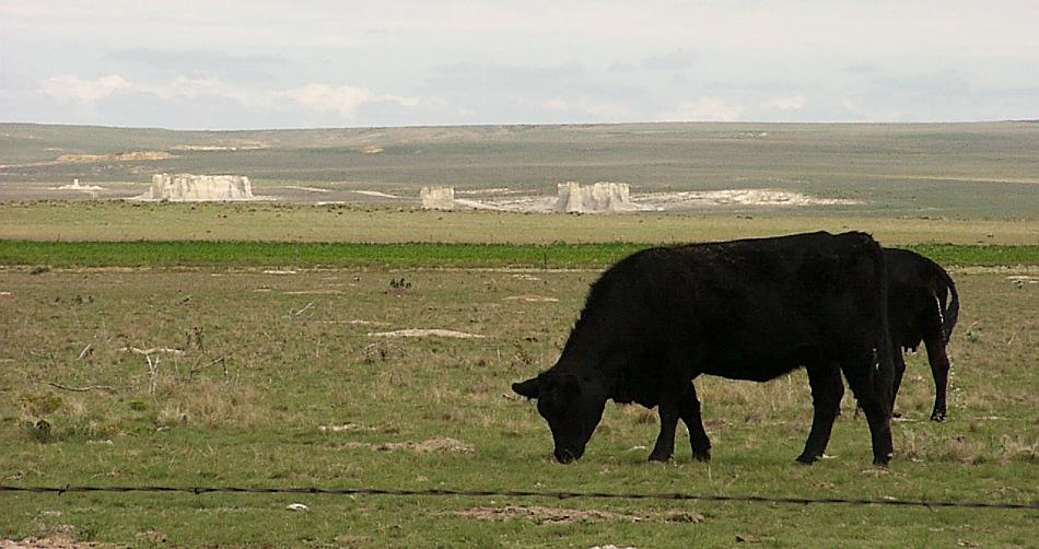cattle and monument rocks