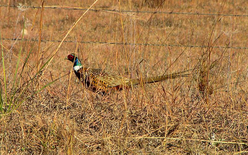 ring-necked pheasant in the Gypsum Hills