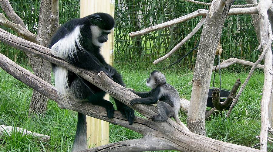 colobus monkeys at Manhattan's Sunset Zoo.