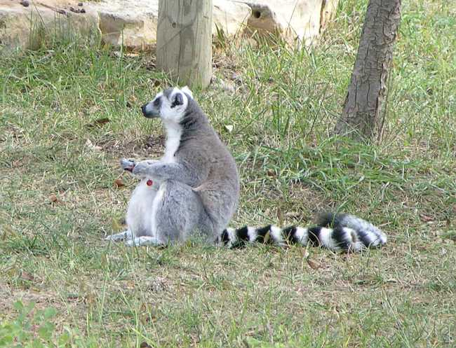 Ring-Tailed Lemur at Rolling Hills Zoo