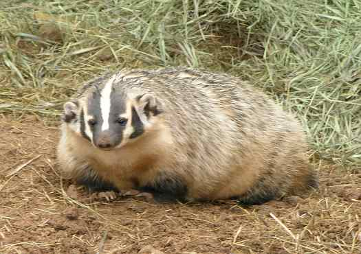 Image result for kansas badger