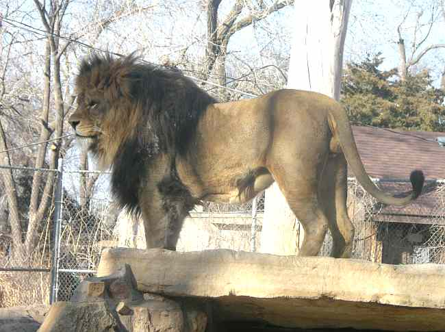 Lion at Brit Spaugh Zoo in Great Bend, Kansas