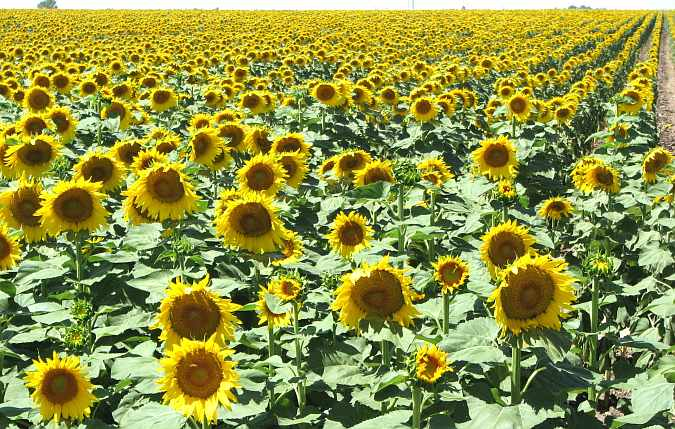 Field of Kansas sunfowers