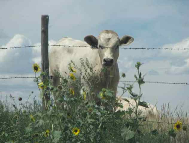 cow and sunflowers near Mount Sunflower