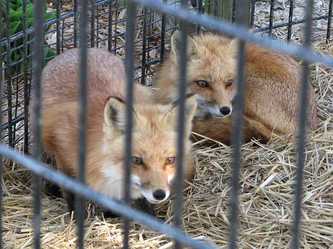 foxes at the Emporia Zoo