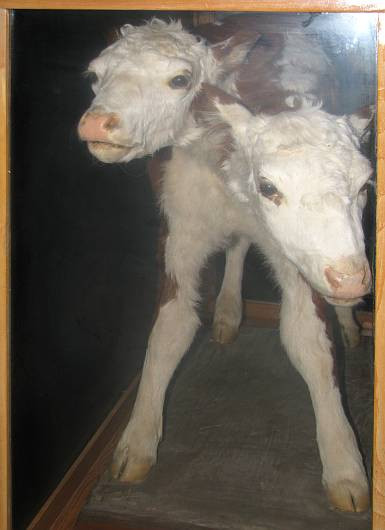 Two headed calf