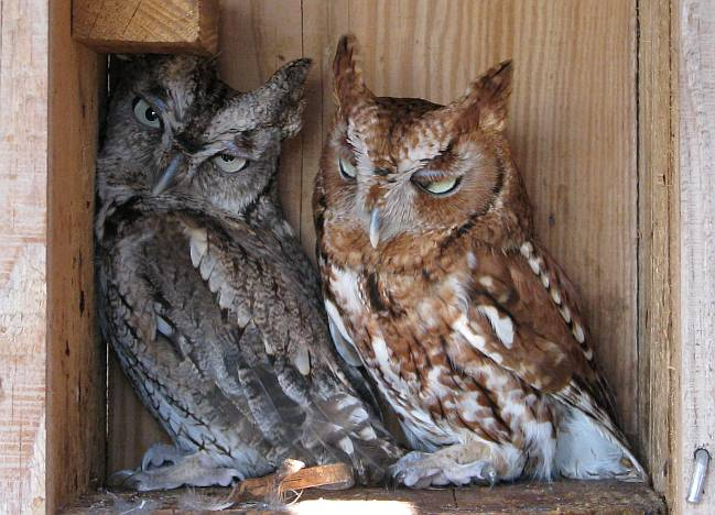 Screech owls at Kansas' Eagle Valley Raptor Center.