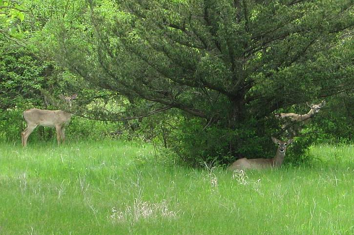 White Tail deer on the Red Buffalo Ranch