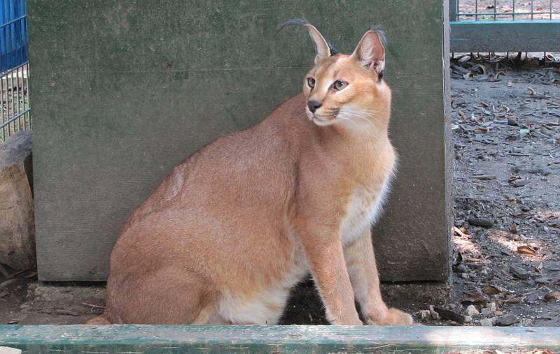 Caracal at Cedar Cove Feline Conservation Park