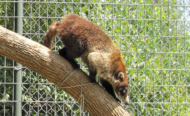 White-nosed coati at Cedar Cover large cat refuge