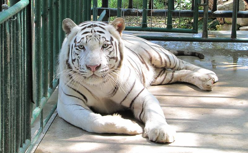White tiger - Cave Cove Feline Conservacy