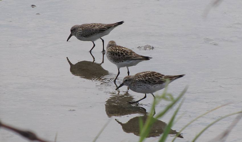 Baird's Sandpipers at Cheyenne Bottoms