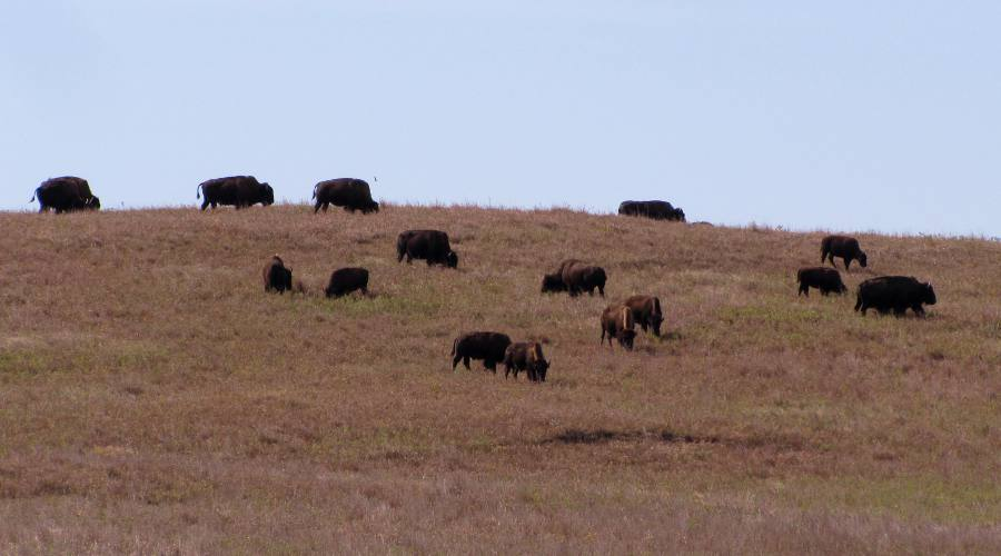 Wild buffalo at the Maxwell Wildlife Refuge