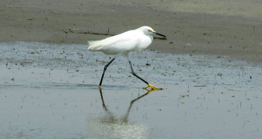 Snowy Egret - Quivira National Wildlife Refuge