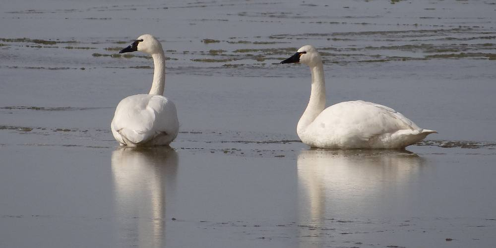 Tundra Swans - Quivira National Wildlife Refuge