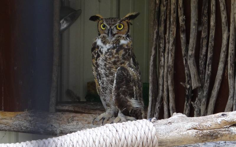 great horned owl at Milford Nature Center