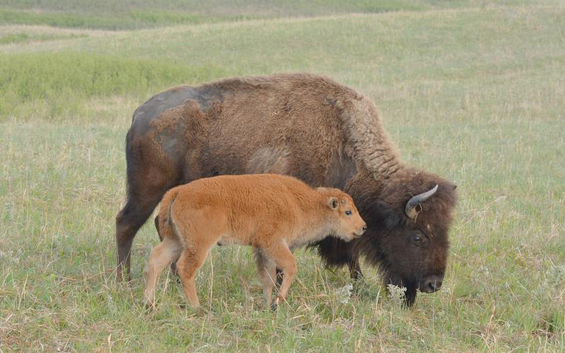 American Bison calf and mother