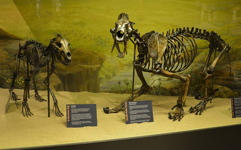 dire wolf and saber tooth cat - McPherson Museum