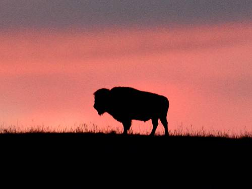 American bison at Maxwell Wildlife Refuge - Canton, Kansas