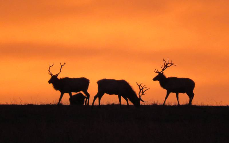 Early morning sunrise behind elk