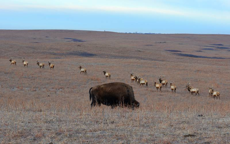 American bison and elk at Maxwell Wildlife refuge in Kansas