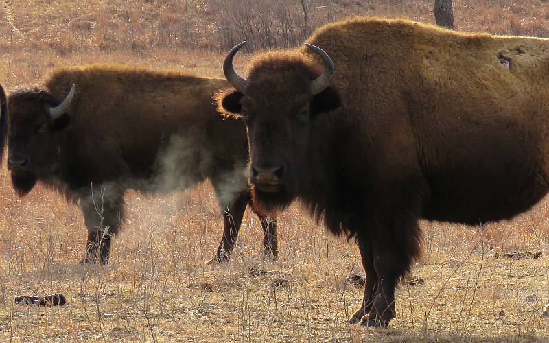 Bison cows with steamy breath on the Great Plains