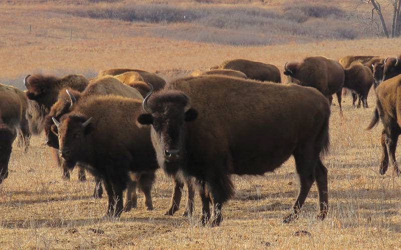 American bison heard at Maxwell Wildlife Refuge in Kansas
