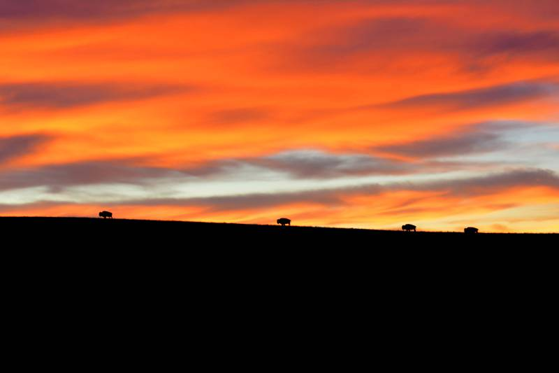 American bison silhouetted by the dawn light
