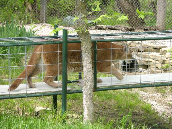 Cougar at Cedar Cover feline Park in Louisburg, Kansas