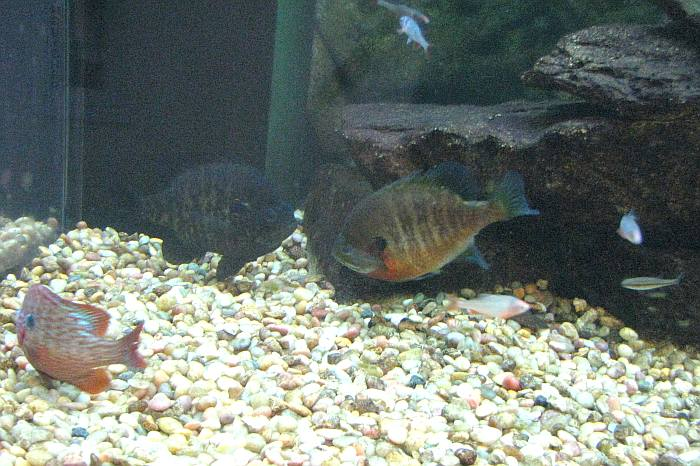 Ernie miller nature center olathe kansas for Bluegill fish tank