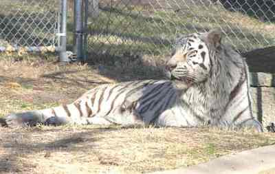White tiger at Brit Spaugh Zoo in Great Bend, Kansas